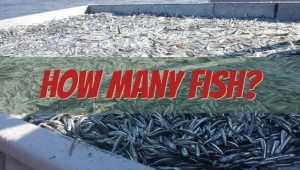 how many fish aquaponic aquaculture