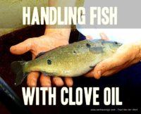 handling fish clove oil