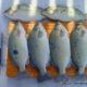 Jade Perch Harvesting Fish at Home