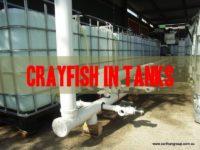 grow crayfish in tanks