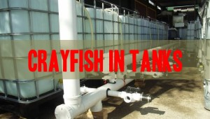 grow crayfish in tanks